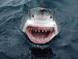 800px-jaws_great_white_shark_south_australia_1138572075