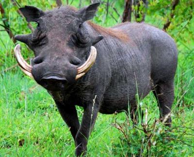 Kruger-National-Park-South-Africa_Warthog_15320
