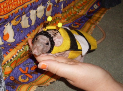 Bumble-bee-costume-for-your-rat