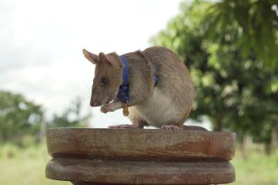 25hero-rat-top-jumbo