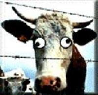 Mas_cow